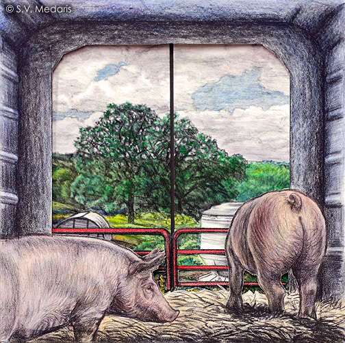 hogs look out of gate toward pasture