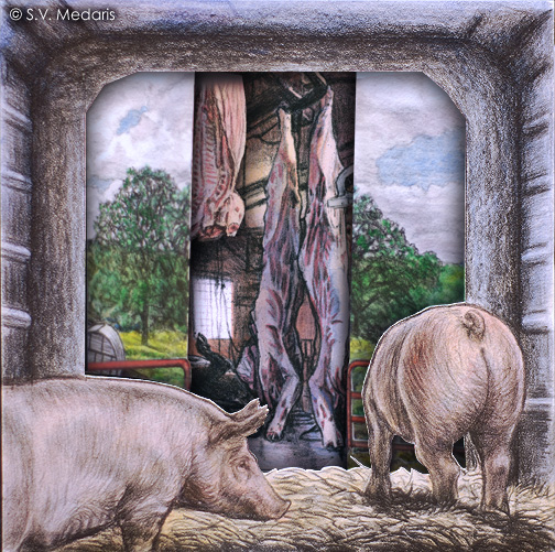 hogs look out of gate toward pasture, with break in pasture scene