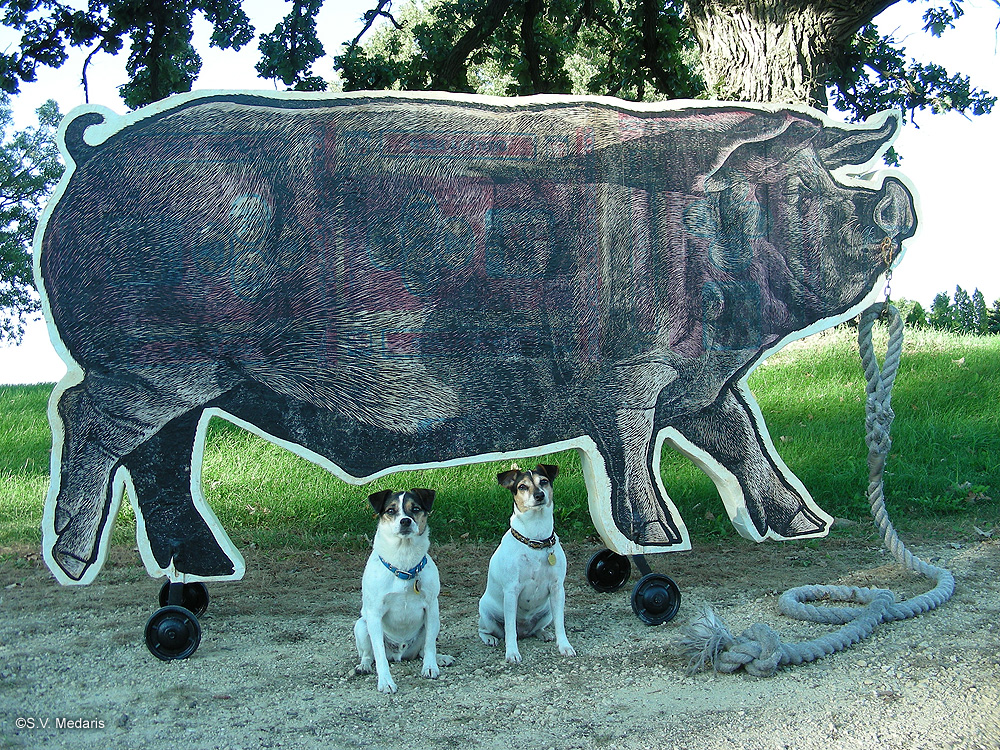 little terriers pose in front of 8ft long pull-toy pig