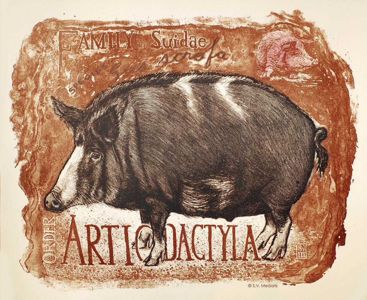 Sus scrofa, color litho of fat wild hybrid hog