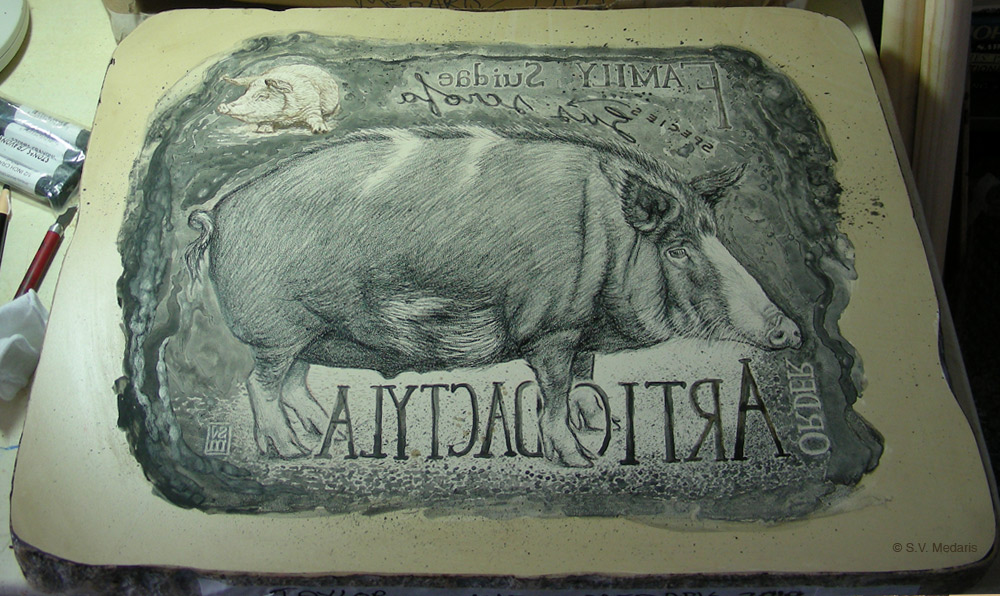 wild-type domestic hog with taxonomy text surrounding it on litho stone
