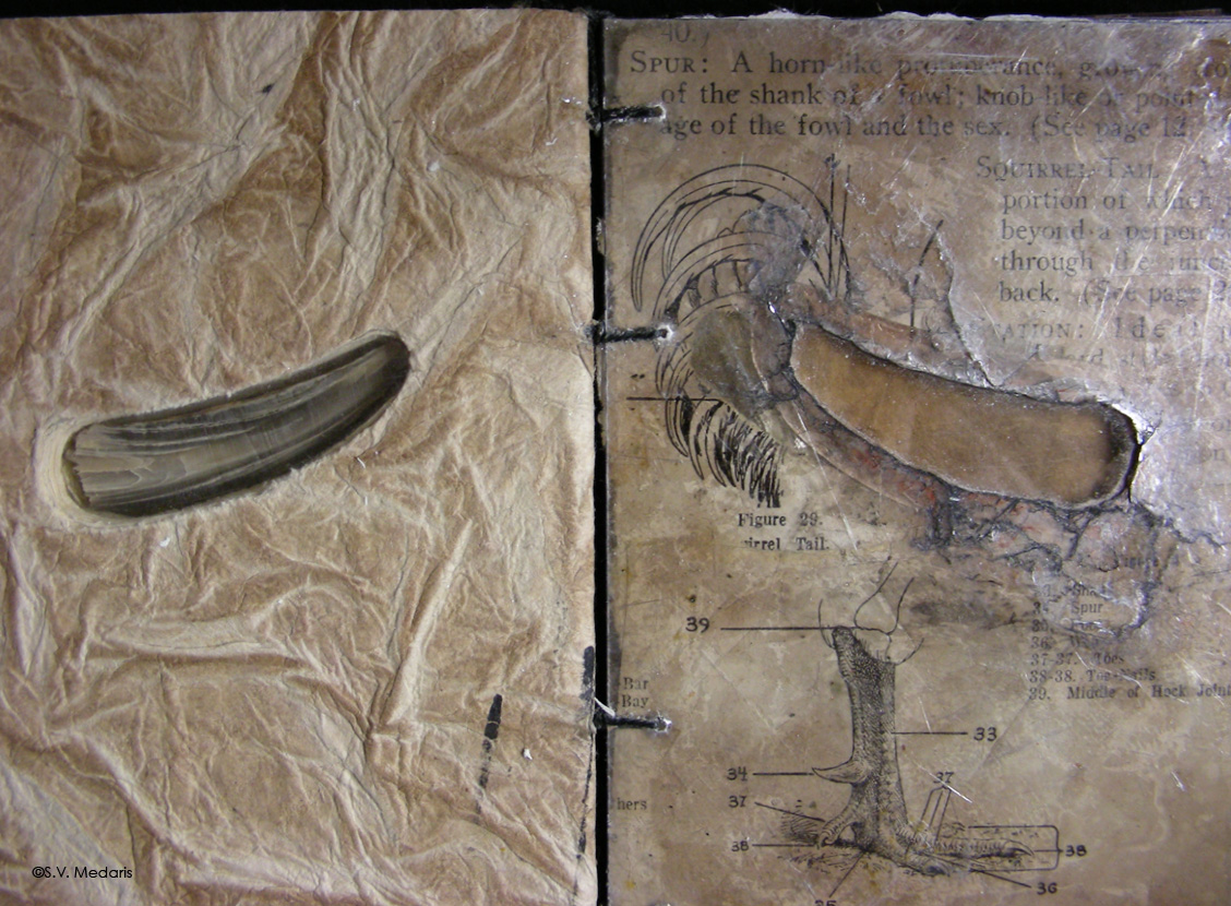 rooster spur on left, page from old book on right