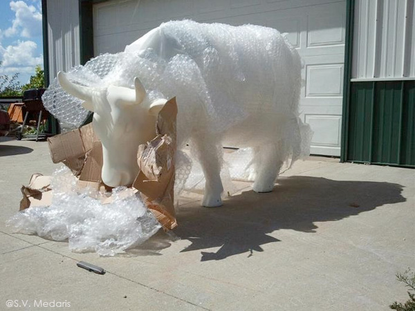 fiberglass cow becoming unwrapped from bubble wrap and cardboard
