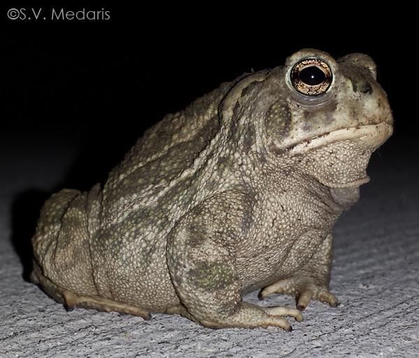 side-view, toad on pavement, night sky behind