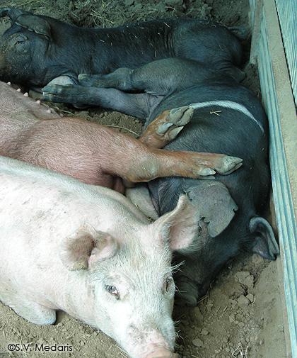 4 pigs sleep in a row