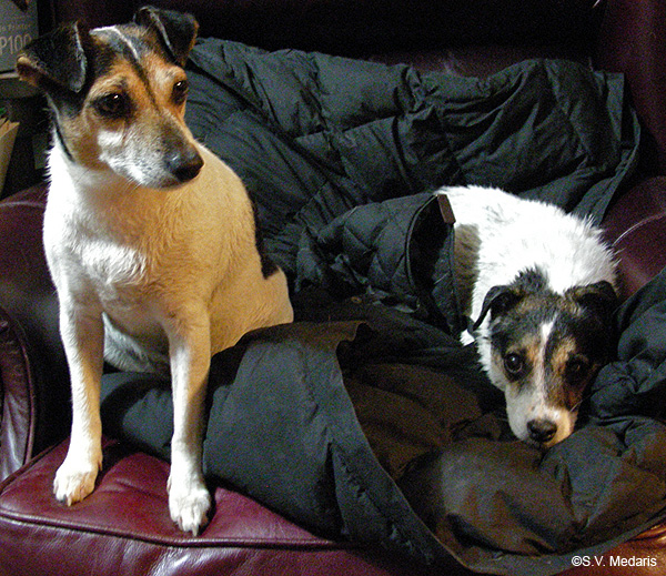 dex and zuzu (terriers) recuperate in chair after washing