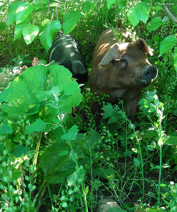 Reddish brown pig looks out from bush