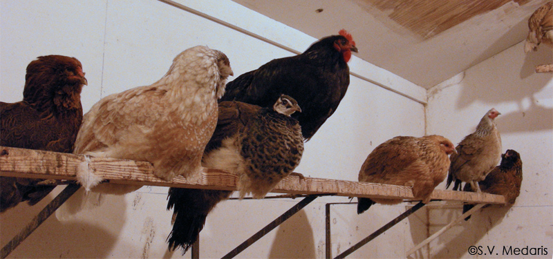 Juvenile pea hen roosts in between 2 larger chickens (hens) on the bar