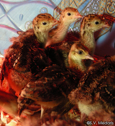 Peachick nestles in with turkey poults. Feather pattern of the 2 species is strikingly similar.