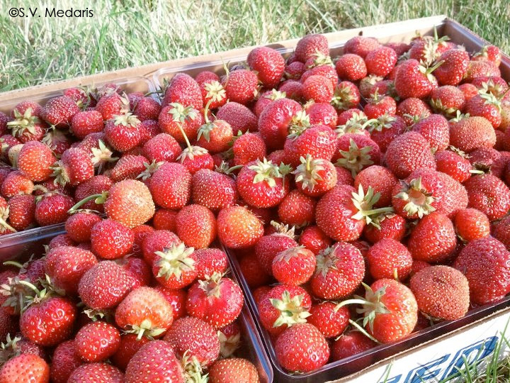 6 qts strawberries just picked