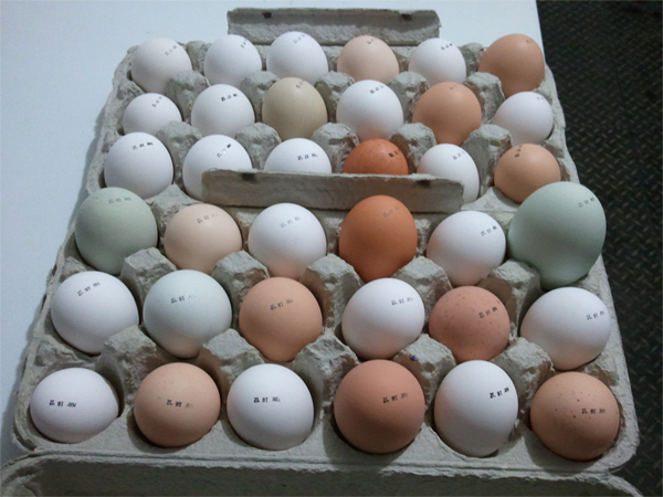 huge Araucana egg amidst normal-sized eggs in cartons