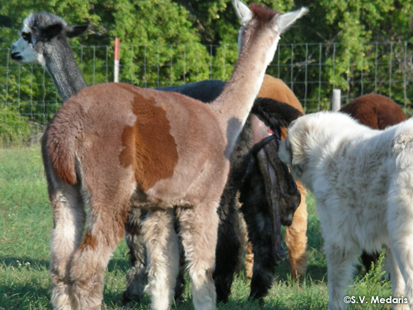 birth of alpaca