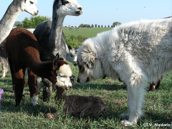 birth of alpaca