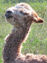 newborn alpaca's head and neck