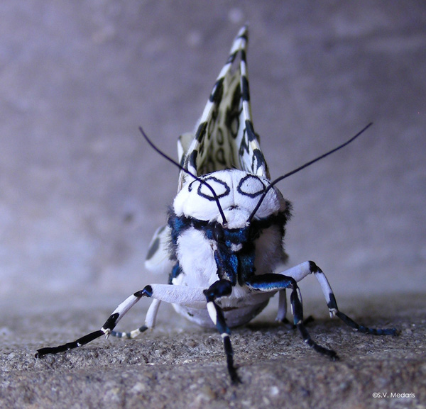 black and white moth faces camera
