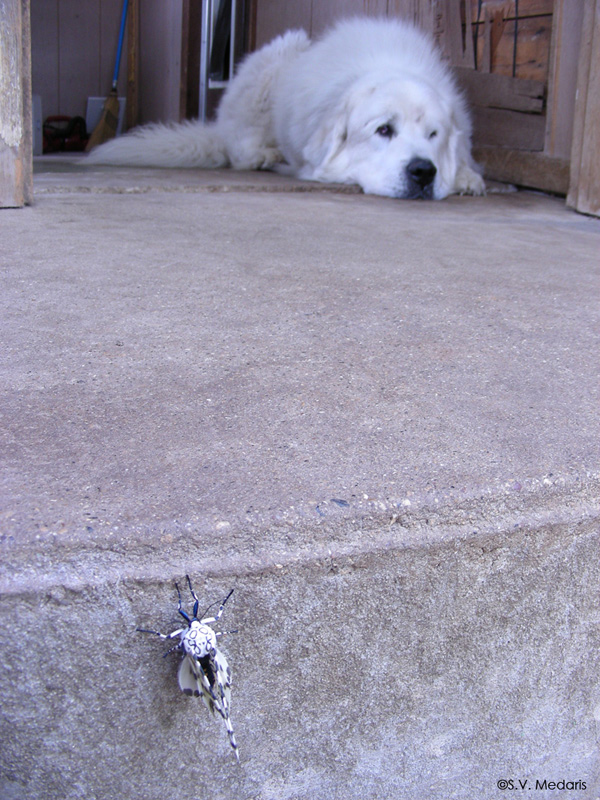 black and white moth on steps, Great Pyrenees in background