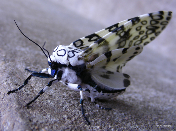 Giant Leopard Moth from side