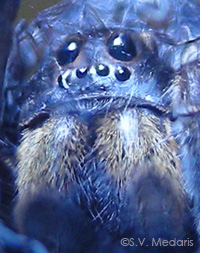 closeup of Wolf Spider face