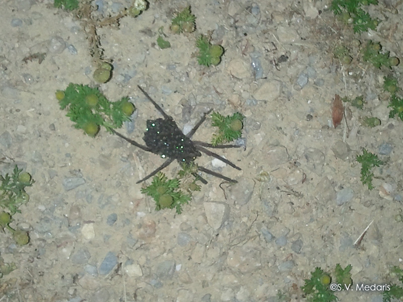 Babies' eyes gleaming in dark, from mother Wolf Spider's back