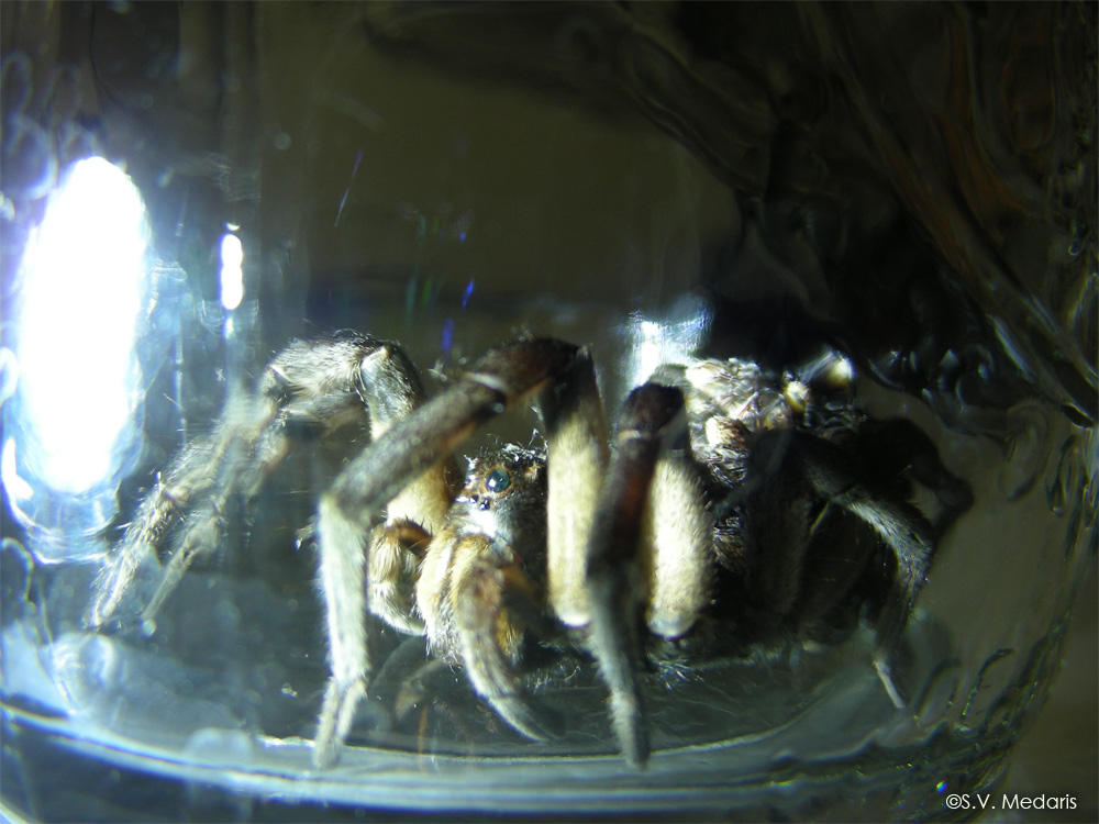 wolf spider in jar, from side