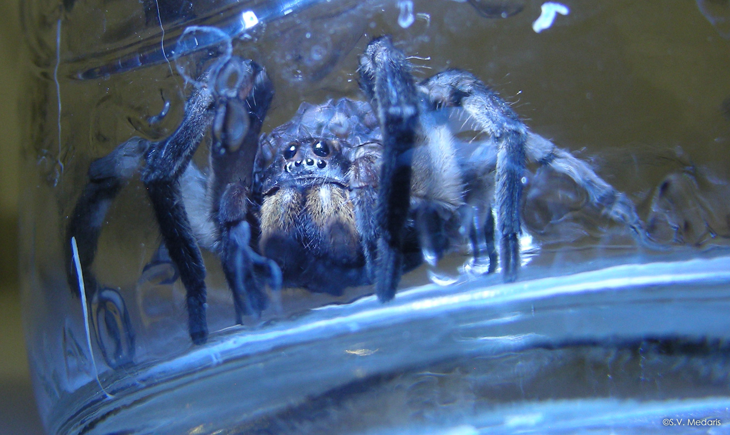 wolf spider faces camera