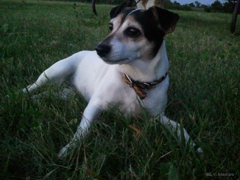 Zuzu, jack-rat terrier lies in grass
