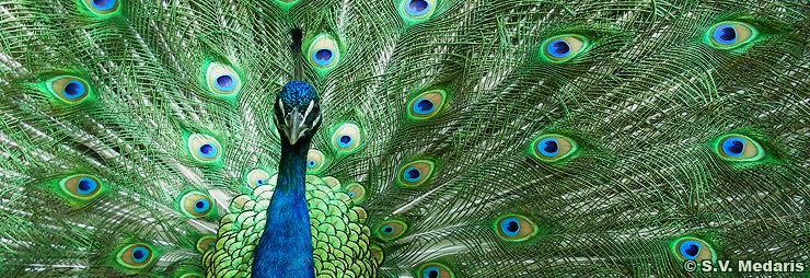 peacock, s.v. medaris, george